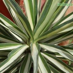 Yucca aloifoliaimg2785_33595510.jpg