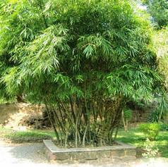 Bamboo1a8698166b6d3d2164c86fe73b52b68f.j