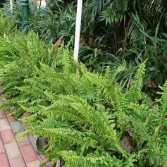 Ferns doneNephrolepis-exaltata-3.jpg
