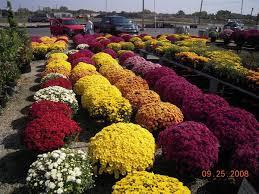 S Chrysanthemum Dendranthemaimages.jpg