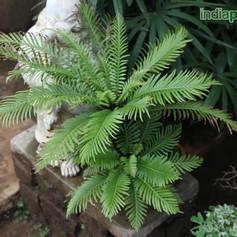 Blechnum, Pygmy Tree Fernimg1932_3359266