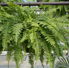 Ferns doneG655-17.jpg