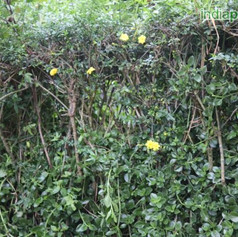 Jasminum humile yellowimg3159_33600797.j