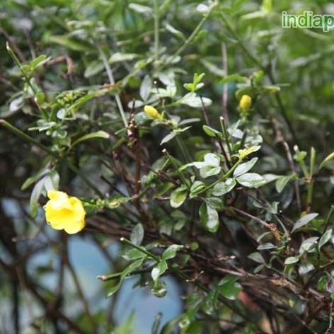 Jasminum humile yellowimg3159_33600798.j