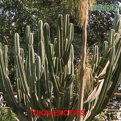 Cereus hexagonus, C. perlucens, C. longf