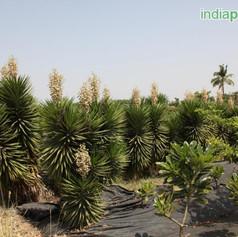 Yucca aloifoliaimg16_33588634.jpg