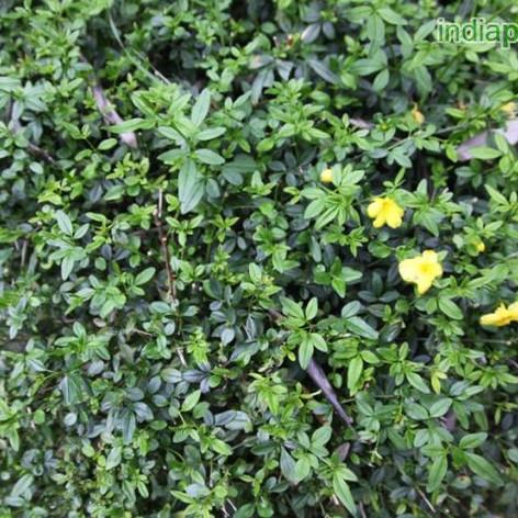 Jasminum humile yellowimg3159_33600787.j