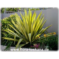 Furcraeafurcraea-undulata-furcraea.jpg