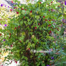 Abutilon megapotamicum hanging_3.jpg