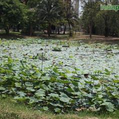 Nelumbo lotusimg2011_33586102.jpg