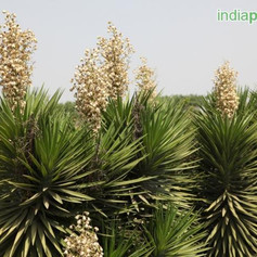 Yucca aloifoliaimg16_33588633.jpg