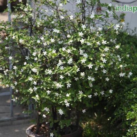Y Wrightia antidysenterica ceylonimg2270