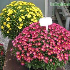 S Chrysanthemum Dendranthemaimg354_33587