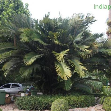 Arenga englerii sugar palm.jpg