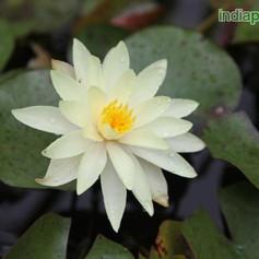 Nymphaea water lilyimg2584_33593279.jpg