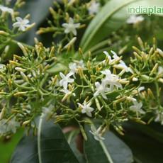 Alstonia fL macrophylla devil treeimg293