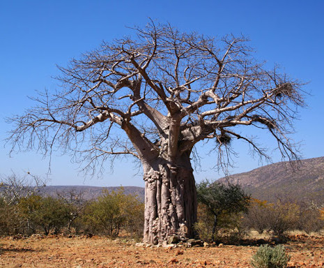 Adansonia digitata Baobab, Monkey Breadu