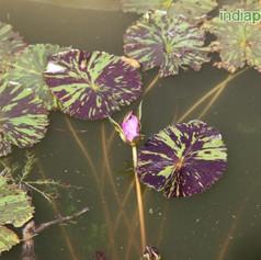 Nymphaea water lilyimg2977_33598441.jpg