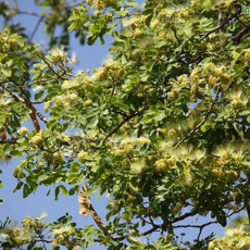 Albizzia lebbeck parrot tree Shirishamu,
