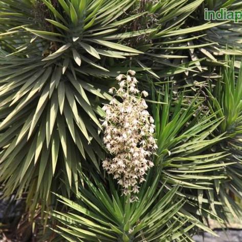 Yucca aloifoliaimg16_33588632.jpg