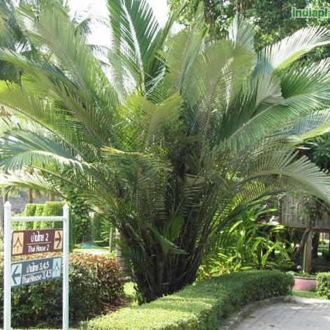 Arenga englerii sugar palm_3.jpg