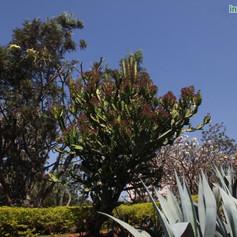 Euphorbia cooperiimg1975_33578817.jpg
