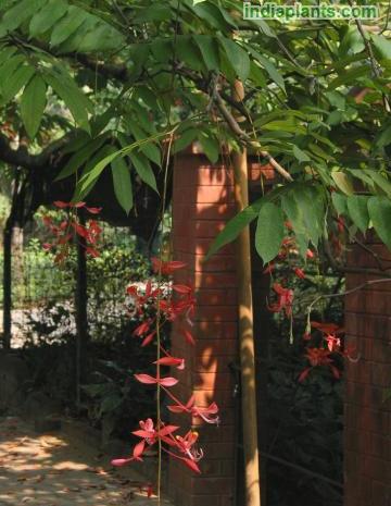 Amherstia nobilis rareimg1745_10840.jpg