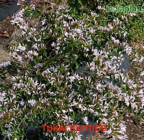Jasminum multiflorum hybridumimg282_3358