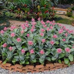 Aechmea fasciata gracilibromeliad-aechme