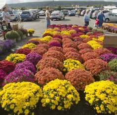 S Chrysanthemum Dendranthemamc-154050426