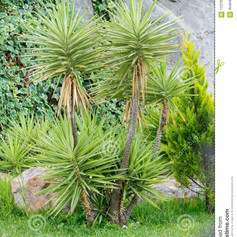 Yuccayucca-tree-background-stones-garden