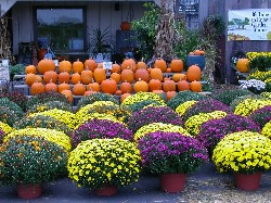 S Chrysanthemum Dendranthemamums-pumpkin