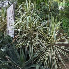 Yucca aloifoliaimg130_33596189.jpg