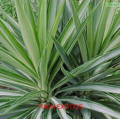 Yucca aloifoliaimg292_7185.jpg