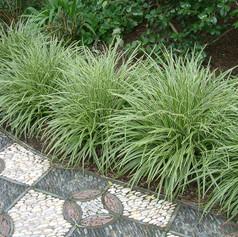 Carex885872253d86ce82f519684cf6de669d.jp
