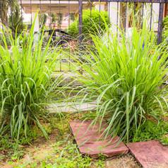 Grass96916925-lemon-grass-in-home-garden
