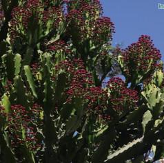 Euphorbia cooperiimg1975_33578816.jpg