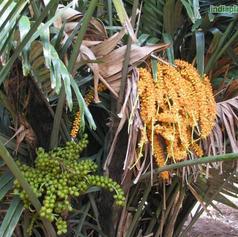 Arenga englerii sugar palm_2.jpg