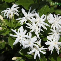 Jasminum sambac madanbanimg1249_33588445