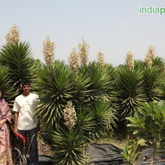 Yucca aloifoliaimg16_33588635.jpg