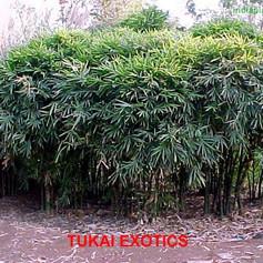Bambusa ventricosa buddha bellyimg463_68