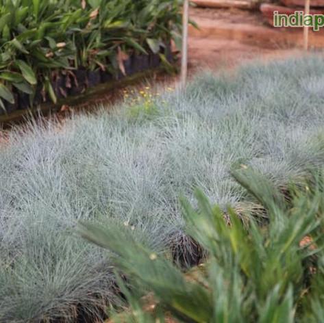 Festuca glauca blue fescueimg309_3360211