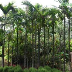 Areca catechu Betel Nut Palm_3.jpg