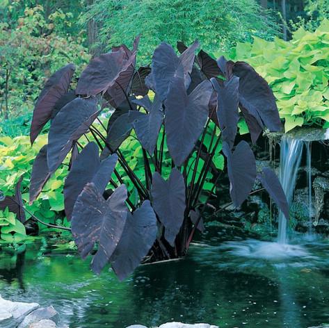 Alocasiaalocasia-black-magic.jpg