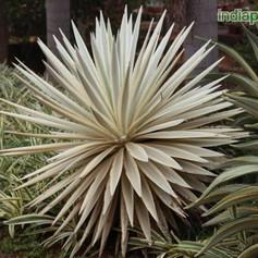 Agave angustifoliaimg2426_33594743.jpg
