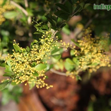 Aglaia odorata Pilli Kaminiimg2293_33603
