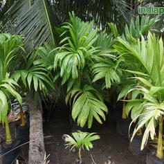Areca catechu Betel Nut Palm_5.jpg