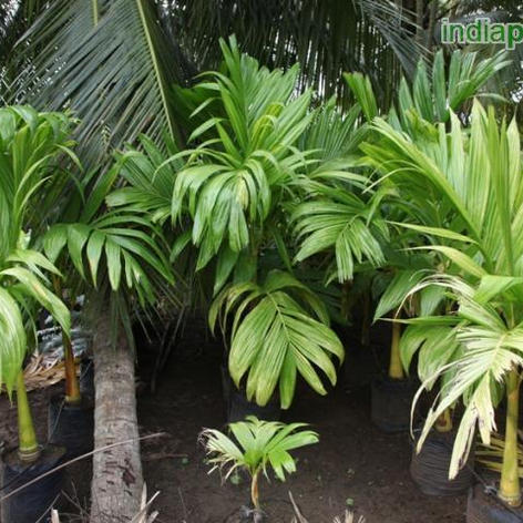 Areca catechu Betel Nut Palm_5.jpg