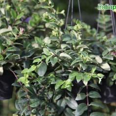 Aeschynanthus species lipstickimg3314_33