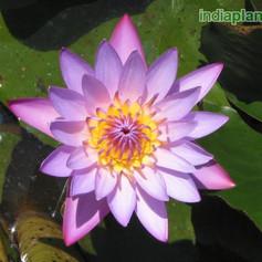 Nymphaea water lilyimg1854_33579777.jpg